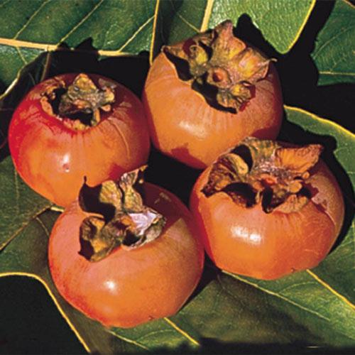American Persimmon Plant