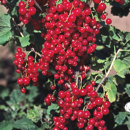 Red Lake Currant Plant