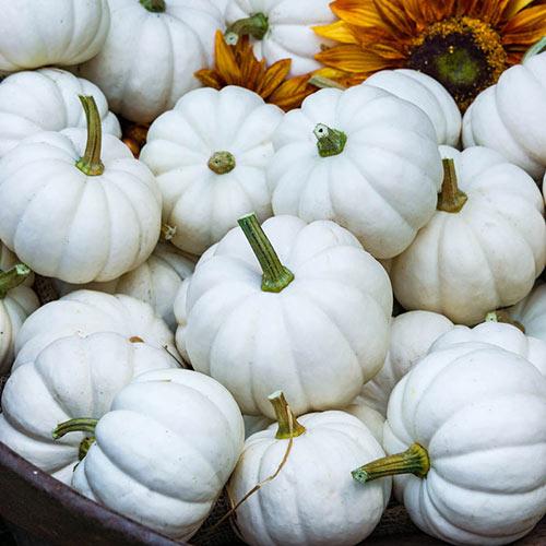 Casperita Hybrid Pumpkin Seed
