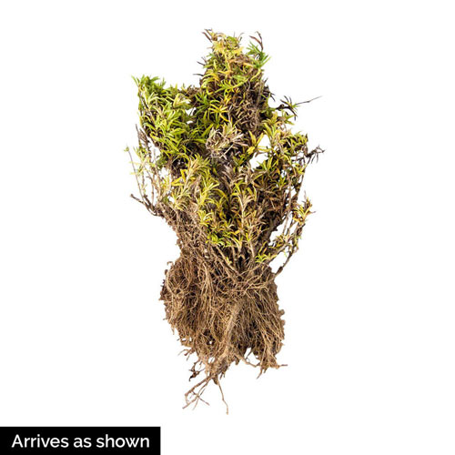 Atropurpurea Creeping Phlox Plant