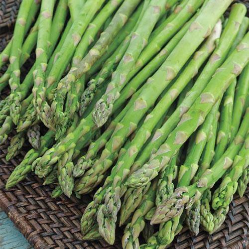 Jersey Knight Hybrid Asparagus Plant