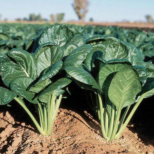 Savanna Hybrid Spinach Mustard Seed