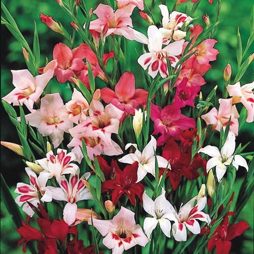 Winter-Hardy Gladiolus