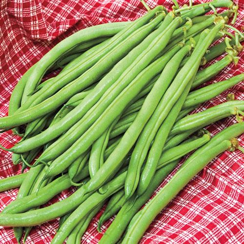Accelerate Bush Bean Seed