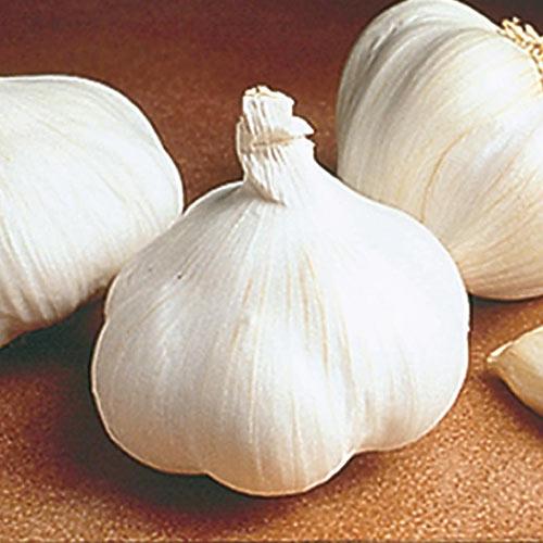 California White Softneck Garlic