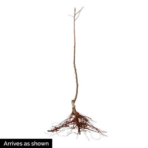 Whitney Crabapple Tree