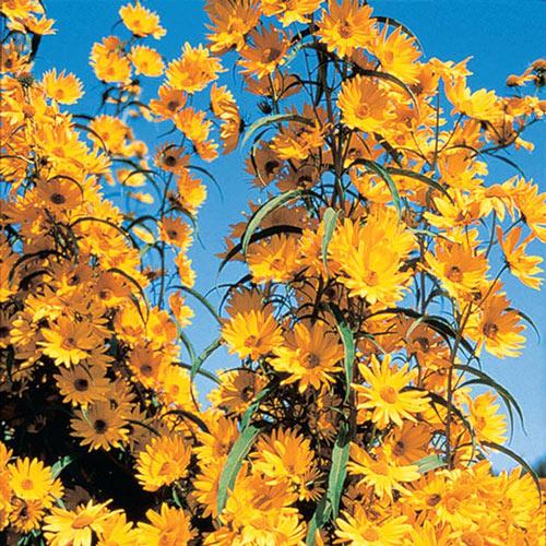 Maximillian Sunflower Plant