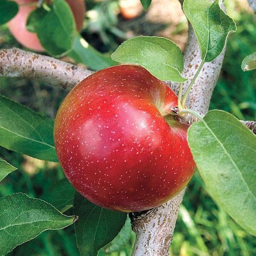 Liberty Apple Tree