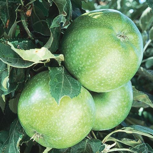 Granny Smith Apple Tree