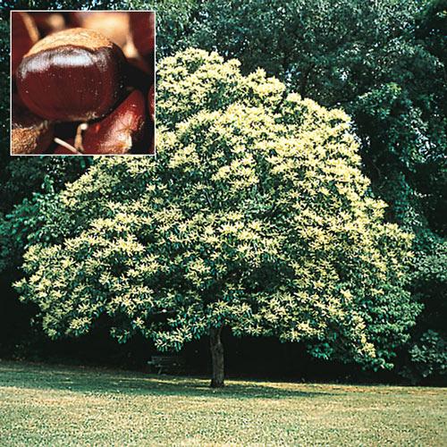 Chinese Superior Chestnut Tree