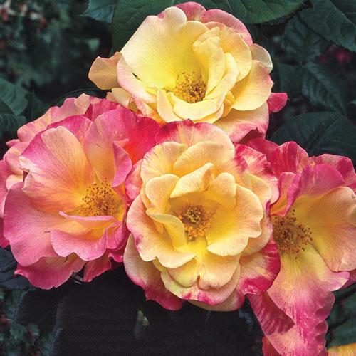 Joseph's Coat Climbing Rose Plant