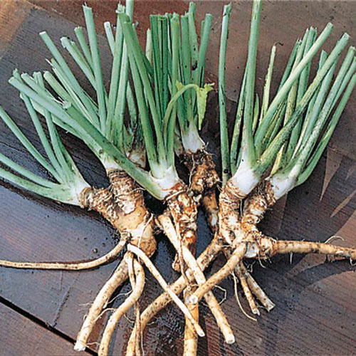 Hybrid Horseradish Roots