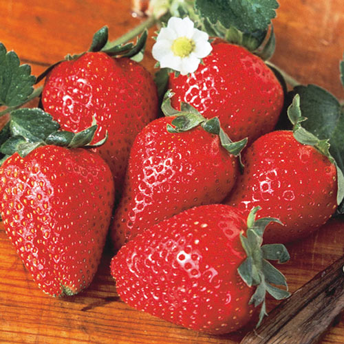 Fort Laramie Everbearing Strawberry Plant