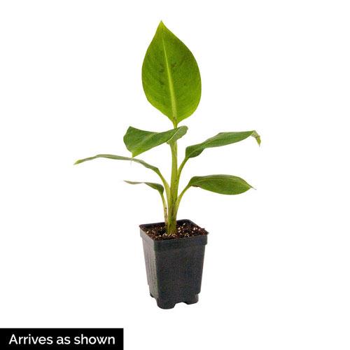 Dwarf Banana Plant