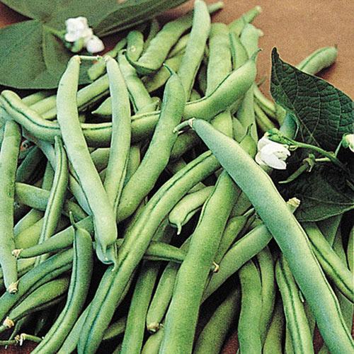 Blue Lake 274 Bush Bean Seed