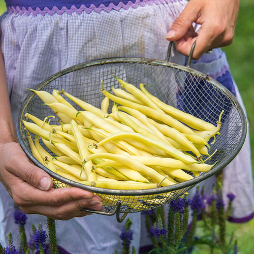 Improved Golden Wax Bush Bean Seed