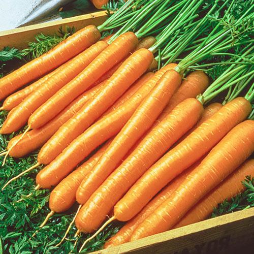 Tendersweet Carrot Seed