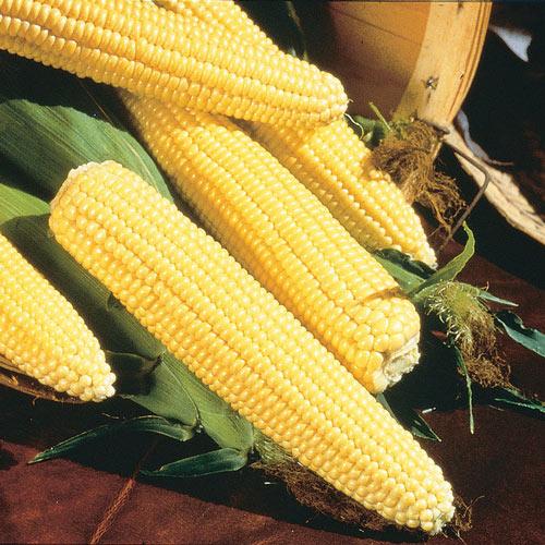 Northern Yellow Xtra-Sweet Hybrid Sweet Corn Seed (sh2)