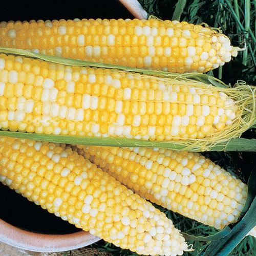 Honey & Cream Hybrid Sweet Corn Seed (su)