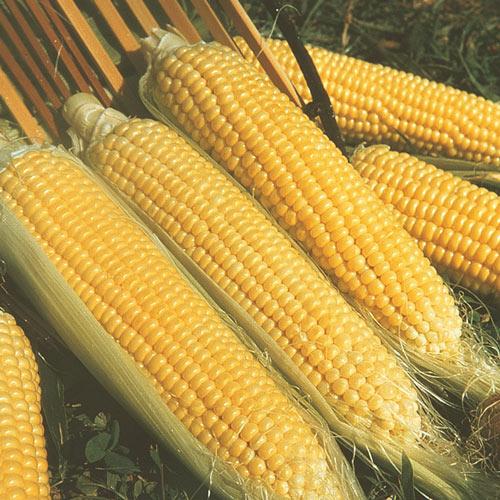Kandy Korn Hybrid Sweet Corn Seed (se)