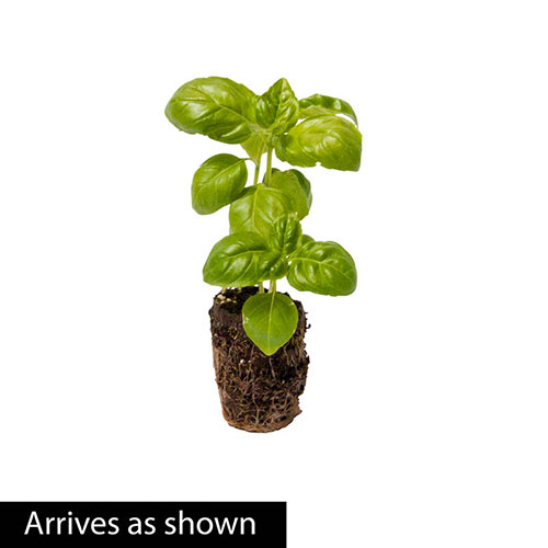 Sweet Basil Herb Seed