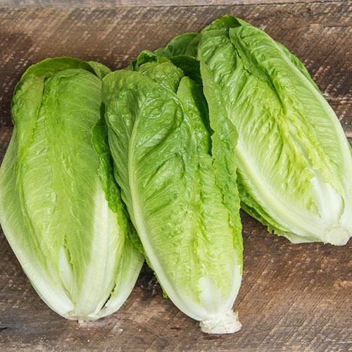 Romaine Head Lettuce Seed