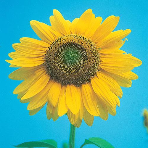 Mammoth Gray Stripe Sunflower Seed