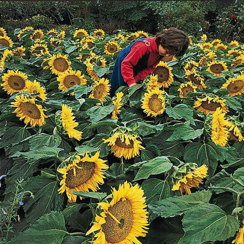 Sunspot Sunflower Seed