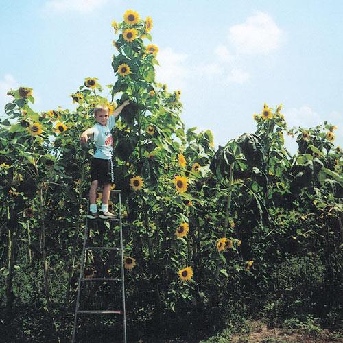 Skyscraper Sunflower Seed