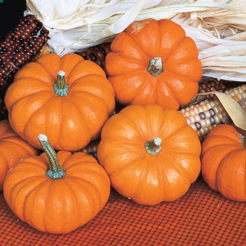 Jack Be Little Pumpkin Seed