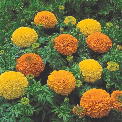 Marigold Inca II Seed Mix