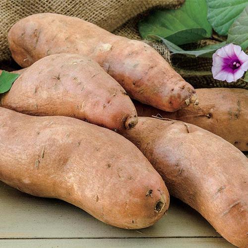 Georgia Jet Sweet Potato