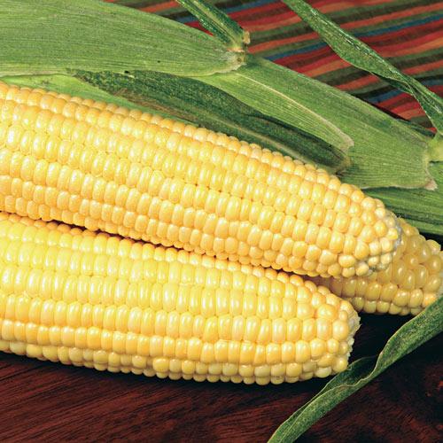 Bodacious RM Hybrid Sweet Corn Seed (se)