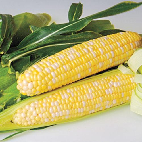 Sweetness Hybrid Sweet Corn Seed (sy)