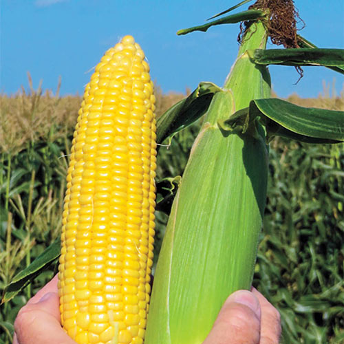 Honeygold Hybrid Sweet Corn Seed (sh2)