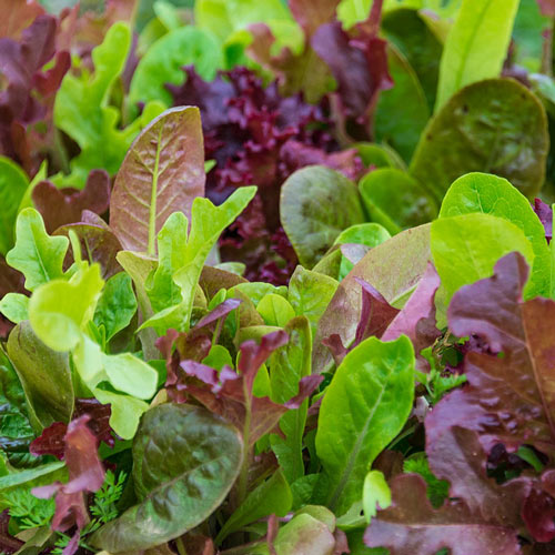 Gurney's<sup>®</sup> Premium Lettuce Seed Blend