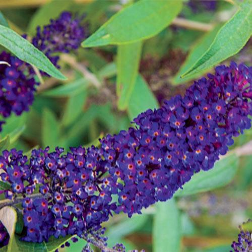 Black Knight Butterfly Bush Plant