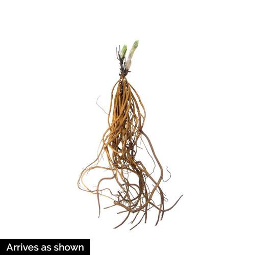 Rebecca™ Clematis Plant