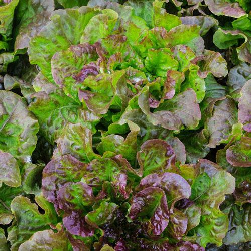 Red Mist Leaf Lettuce Seed