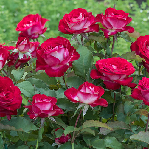 Love At First Sight™ Hybrid Tea Rose