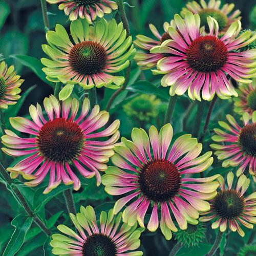 Green Twister Coneflower Plant
