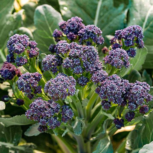 Burgundy Hybrid Sprouting Broccoli