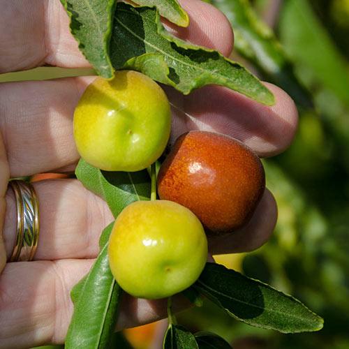 Honey Jar Jujube Tree
