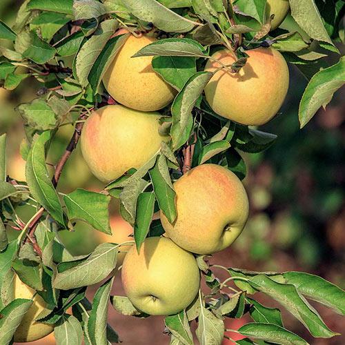Gravenstein Apple Tree
