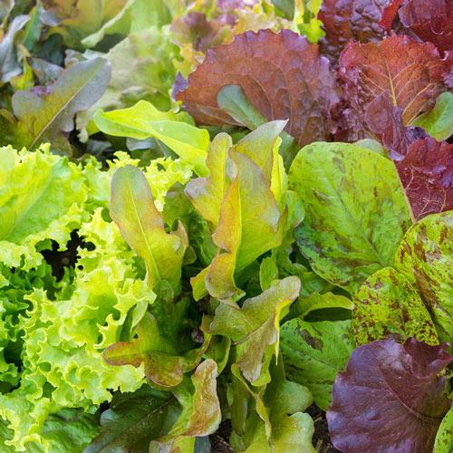 Heirloom Cutting Leaf Lettuce Seed Mixture