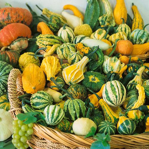 Harvest Wings Hybrid Gourd Seed