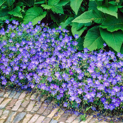 Johnson's Blue Geranium Plant