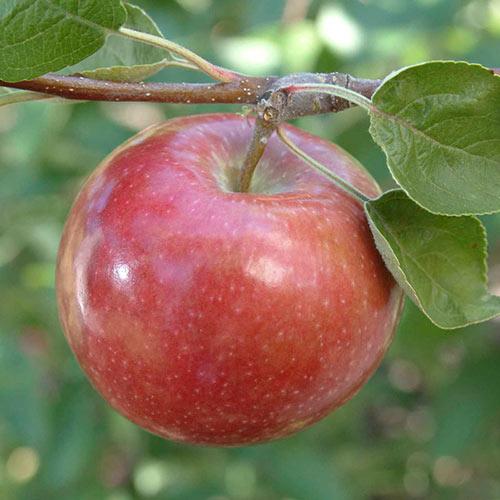 McIntosh Double Red Apple Tree