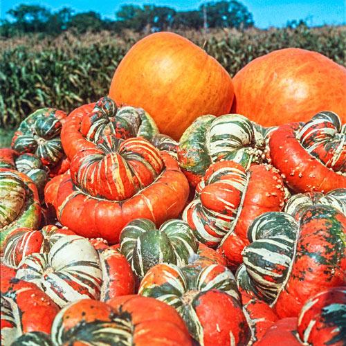 Turk's Turban Gourd Seed