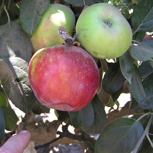 Red Gravenstein Apple Tree